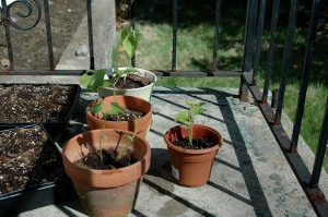 These are some of my green beans. The plant without leaves is the one my cat attacked.