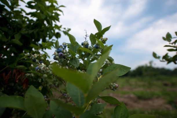 I am listening to Andrew W. K. while writing these captions. This combo isn't working. Pastoral pictures and frat rock, not a good combo. Anyway, this is what a blueberry bush looks like.
