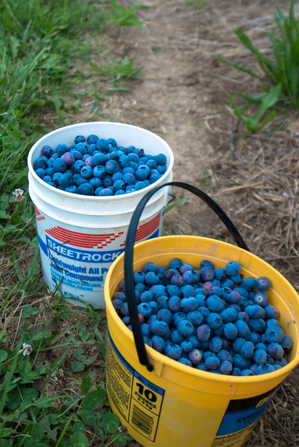 This is what almost eight quarts of blueberries looks like.