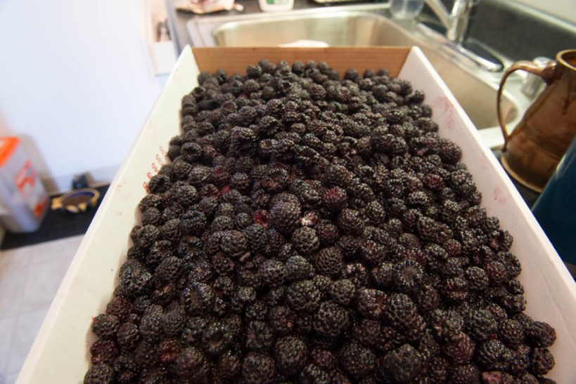 Yep. That's nearly 10 lbs of berries.